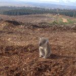 koala perdido luego de deforestar