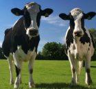 contaminación ganadera por vacas