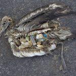 ave muerta a causa de contaminación y comer plásticos